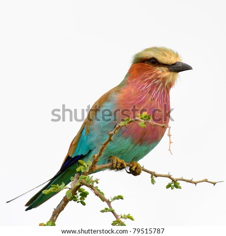 lilac breasted roller on white background - stock photo