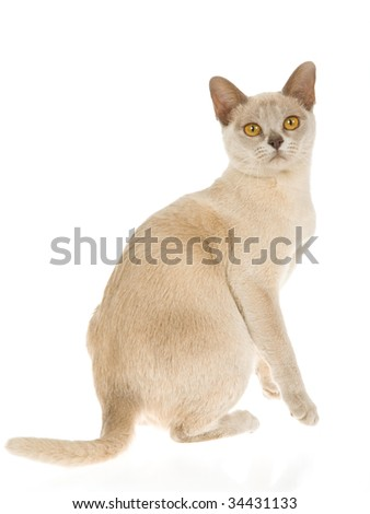 Lilac Burmese kitten on white background