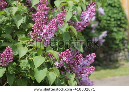 Lilac bush - selective focus - stock photo