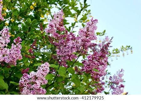 lilac bushes derelict garden spring summer - stock photo
