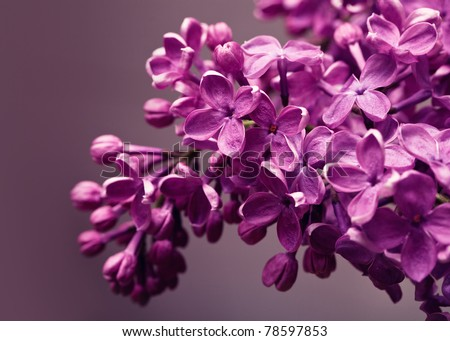 Lilac closeup - stock photo