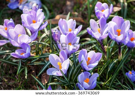 lilac crocuses flowers  on lawn in early spring  - stock photo