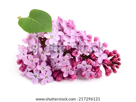 Lilac flower bunch with leaf isolated. - stock photo