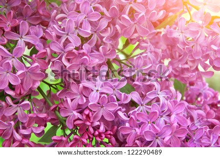 Lilac flower texture. Nature composition. - stock photo
