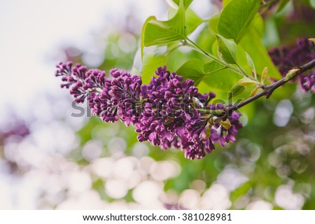 lilac flower. with bokeh background.  - stock photo