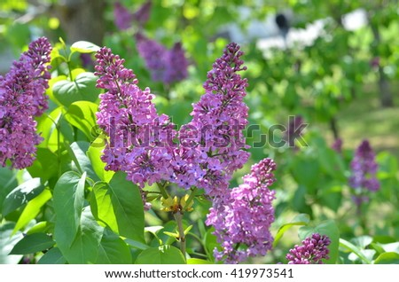 Lilac Flowering. Lilac Bush Bloom. Lilac flowers in the garden. Beautiful lilac flowers with the leaves. Selective focus. Abstract soft floral background. Spring flower, twig lilac.  - stock photo