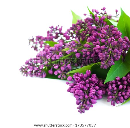 lilac flowers branch on  a white background