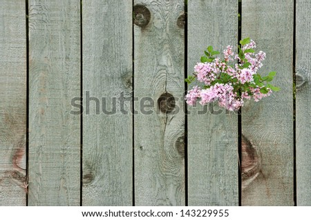Lilac flowers growing through a weathered wooden fence - stock photo