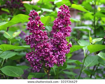 Lilac flowers in the garden - stock photo
