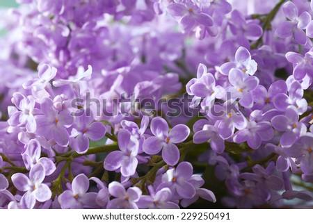 lilac flowers macro background - stock photo