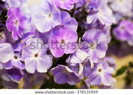 lilac flowers of phlox in the bouquet