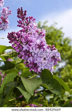 lilac flowers with green leaves in sunny spring day - stock photo