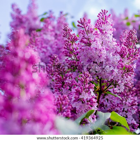 Lilac flowers with sky background. Background floral