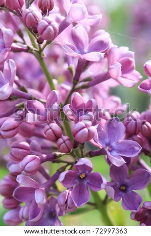 Lilac in the garden - stock photo
