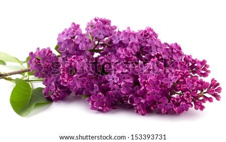 Lilac isolated on white background - stock photo