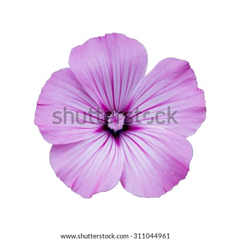 Lilac  lavatera  flower,  white  isolated background,  closeup, macro