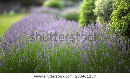 Lilac Lavender Flowers Lavandula Angustifolia in a sunny Park