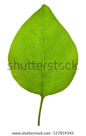 Lilac leaf  isolated on white - stock photo