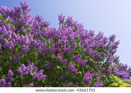 lilac on a background of blue skies - stock photo