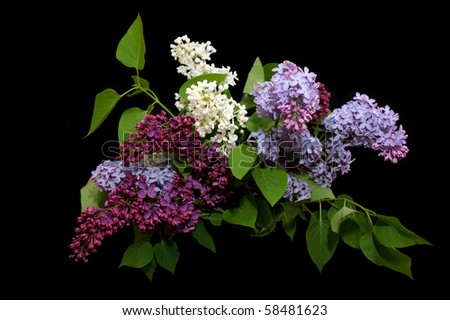 lilac on a black background