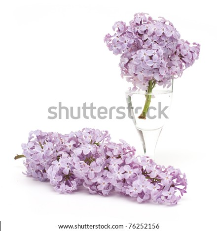 lilac on white background - stock photo