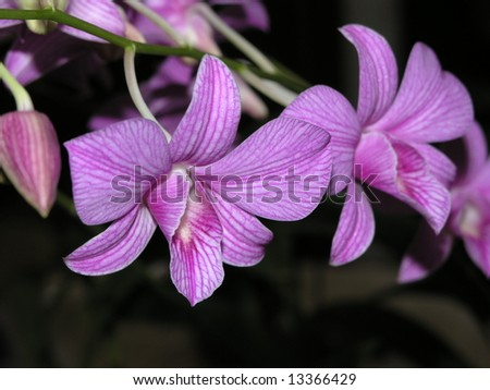 Lilac Orchid closeup - stock photo