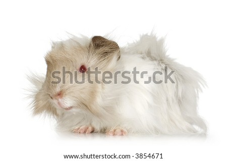 Lilac peruvian guinea pig against a white background