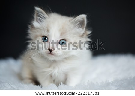 Lilac Point Kitten Sitting on a White Furry Blanket