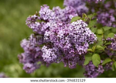 Lilac Tree - stock photo