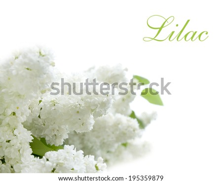 lilac tree branch with beautiful white flowers isolated - stock photo