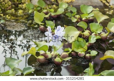 lilac water hyacinth in the pond