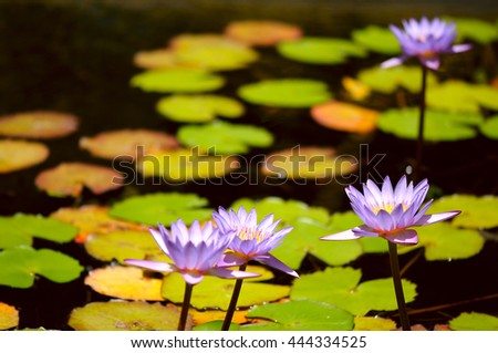 lilac water lilies with lotus leaves on pond - stock photo