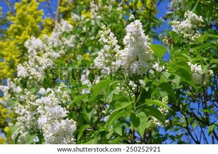 lilac white  - stock photo