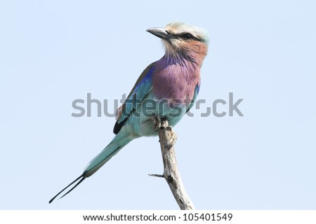 Lilacbreasted Roller : Coracias Caudata : South Africa - stock photo