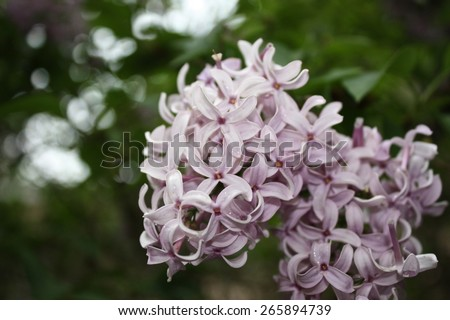 Lilacs in bloom - stock photo
