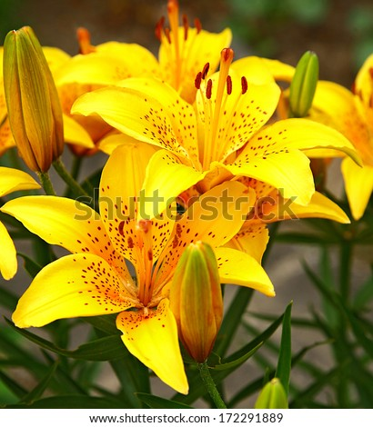 Lilies - stock photo