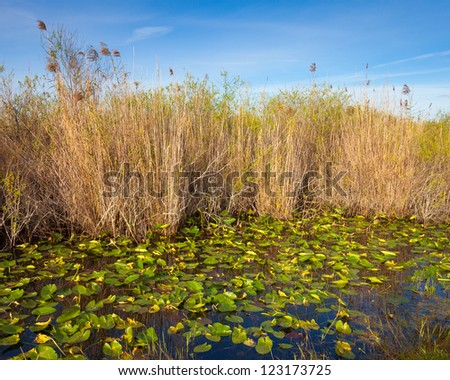 Lilies and reeds in the Everglades, Florida. - stock photo