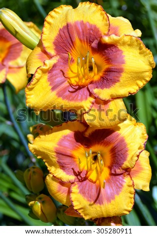 Lilies are a group of flowering plants which are important in culture and literature in much of the world. Most species are native to the temperate northern hemisphere,