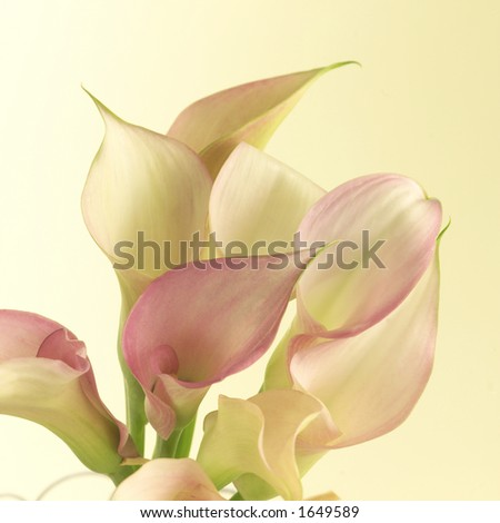Lilies, close up. - stock photo