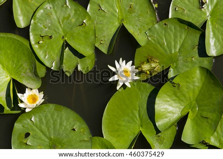 lilies, frog smells a flower , in the lake, nature background - stock photo