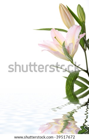 Lilies isolated on white background