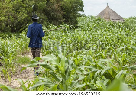 LILIIR, SOUTH SUDAN-JUNE 25: An unidentified man surveys the crop of millet in the village of Liliir, South Sudan on June 25th 2012. - stock photo