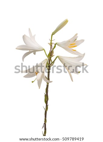 Lilium candidum or the Madonna lily on a white background isolated
