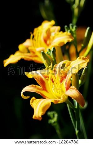 Lilium flowers - stock photo