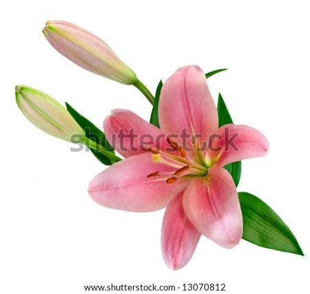 Lilium isolated on white - stock photo