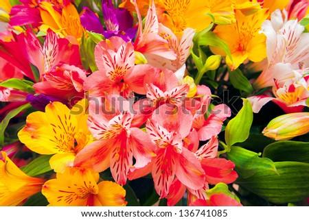 Альмерия уход цветок