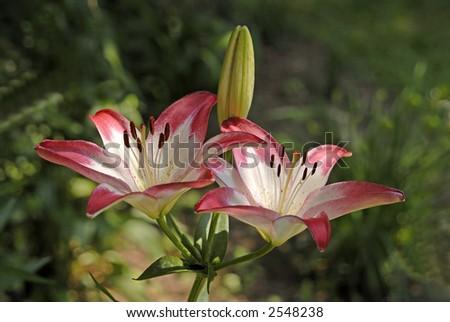 Lillies growing in a Virginia garden - stock photo