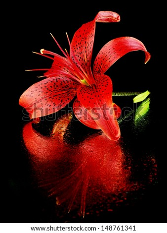 Lilly flower on a black background with water drops      - stock photo