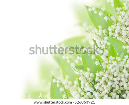lilly of the valley  with green leaves close up   on white background