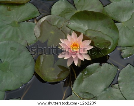 Lilly pad flower in pond